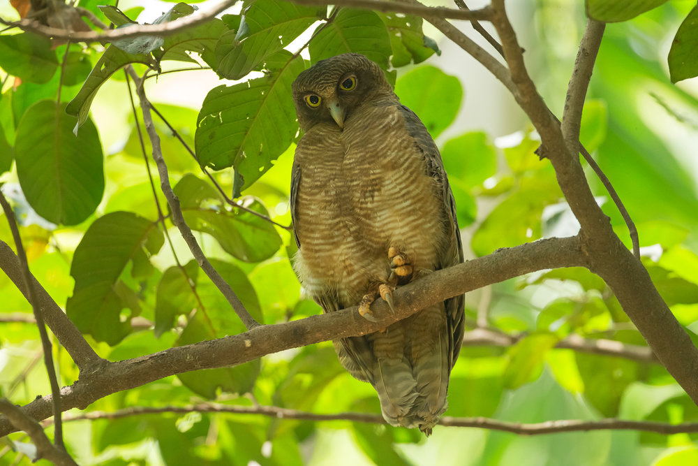 Rufous owl - photo#30