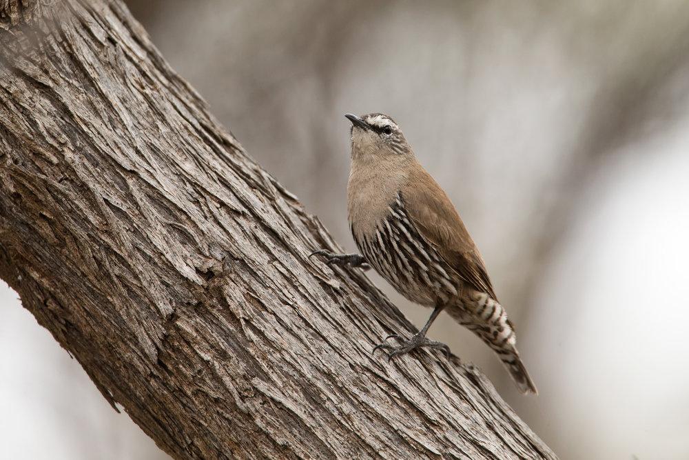 White-browed Treecreeper, Alice Springs Sep 2016