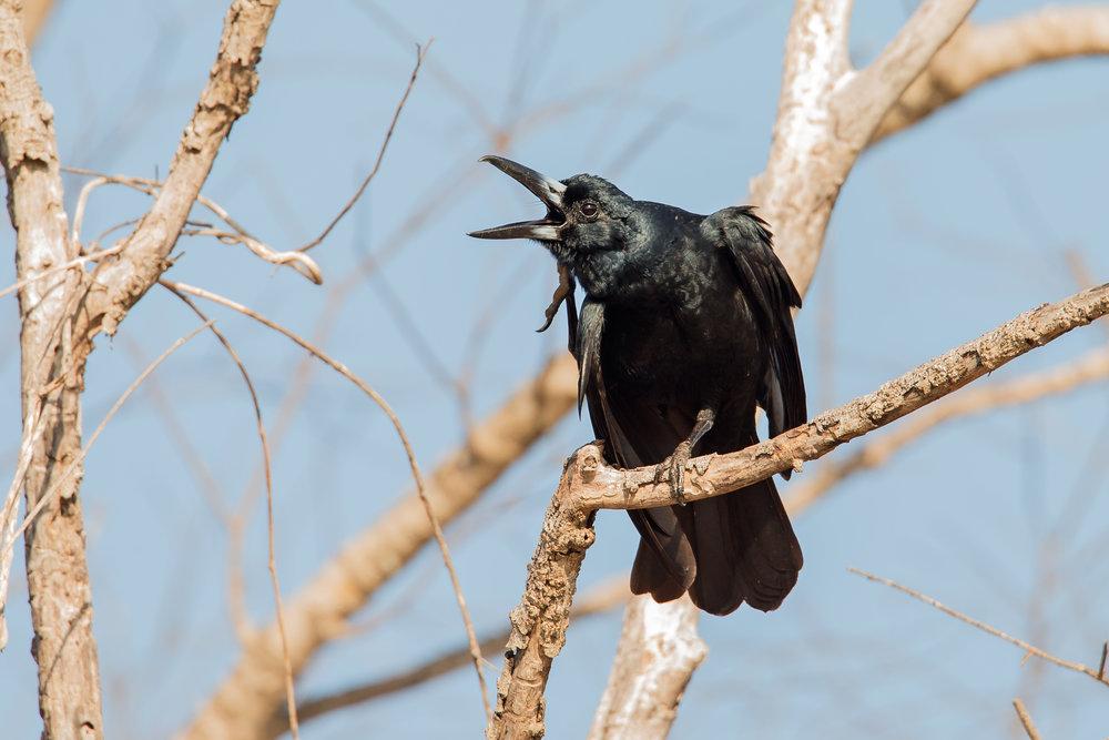 Black Butcherbird, Darwin Sep 2016