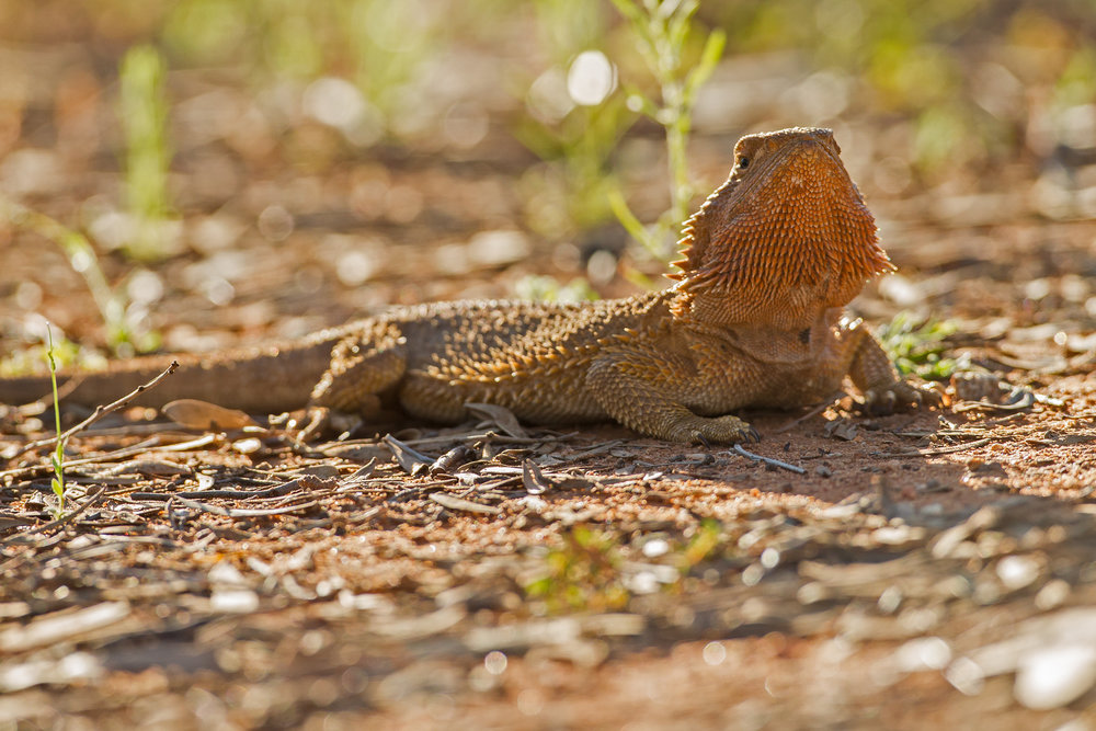 Central Bearded Dragon, Alice Springs Sep 2016