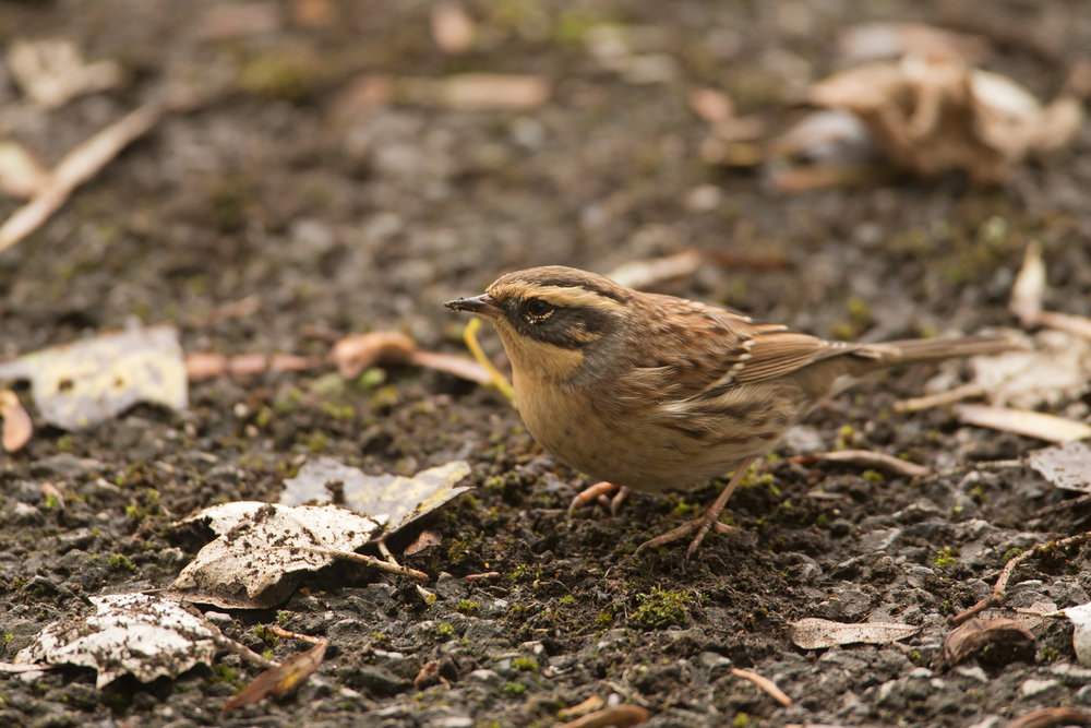 Siberian Accentor, Easington Oct 2016