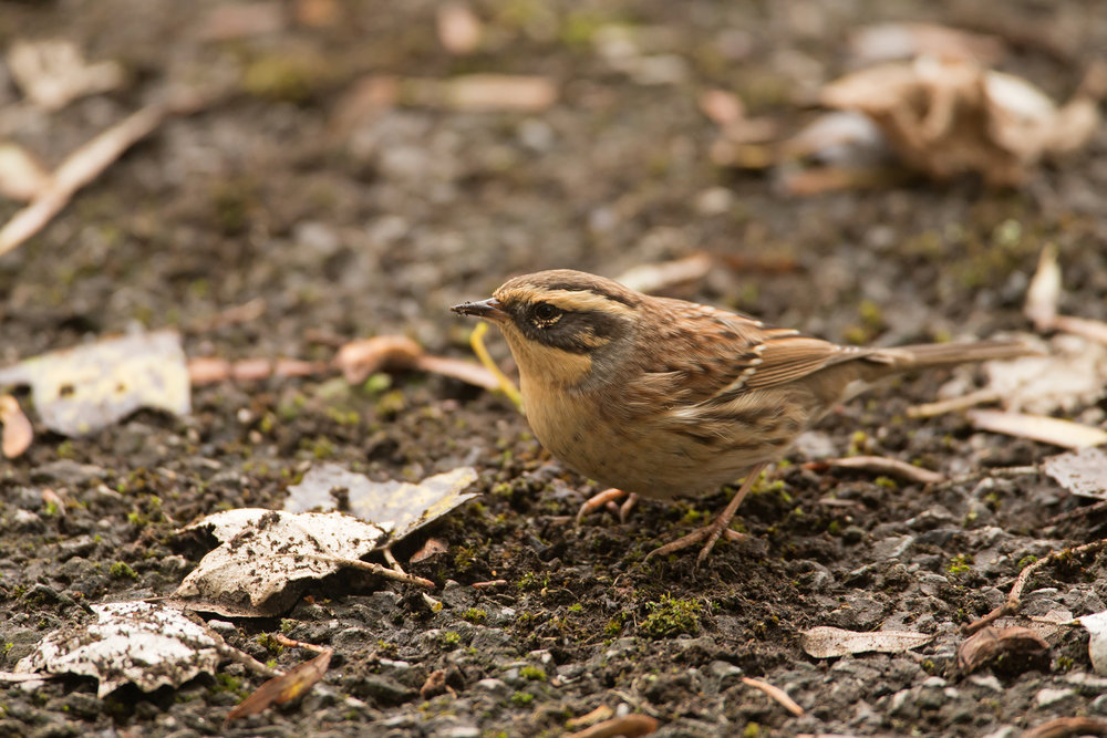 Siberian Accentor, Vicars Lane, Easington.
