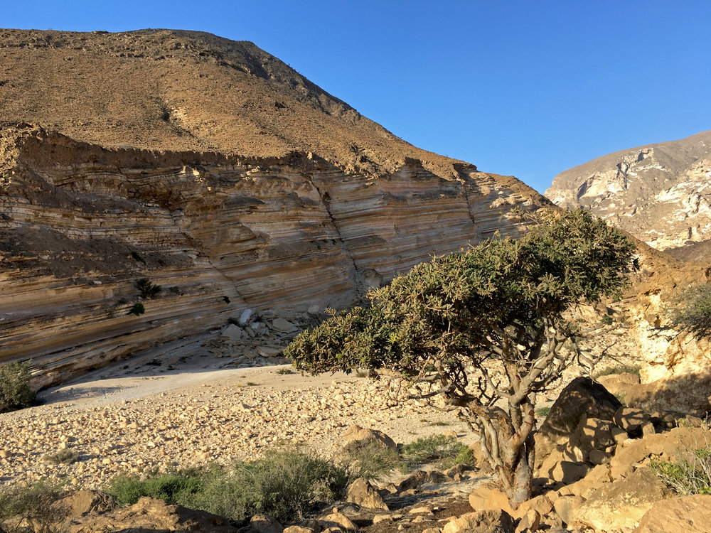 Frankincense Tree, Wadi Ashawq Nov 2016