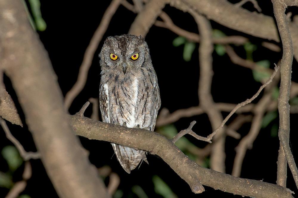 Arabian Scops Owl, Ayn Hamran Nov 2016