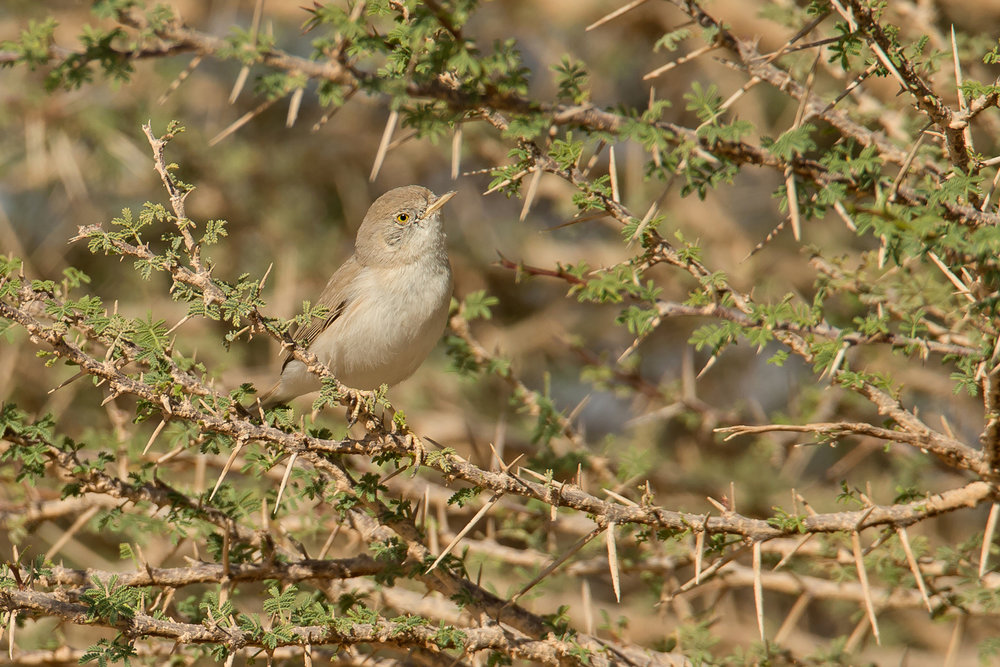 Asian Desert Warbler, Mudday Nov 2016