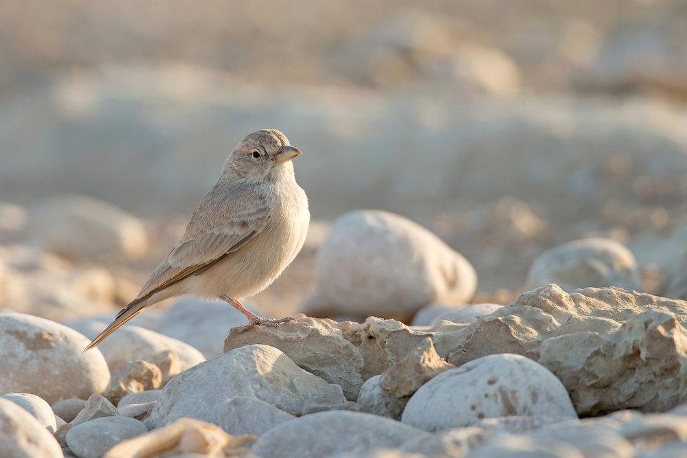 Desert Lark (saturata), Mudday Nov 2016