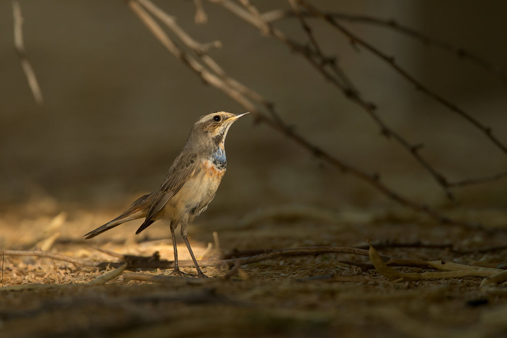Bluethroat, Qitbit Nov 2016