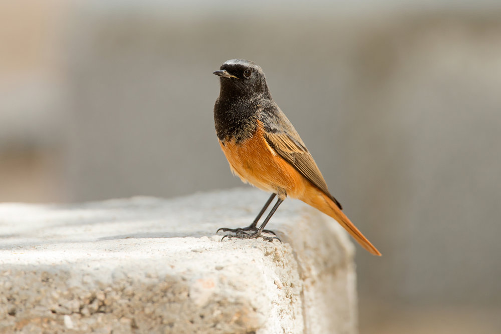 'Eastern' Black Redstart, Al Ghaftayn Nov 2016