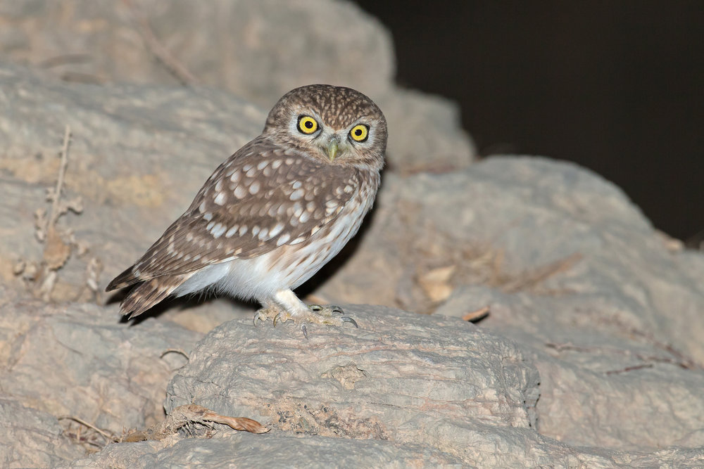 Little Owl, Al Hajar Mountains Nov 2016