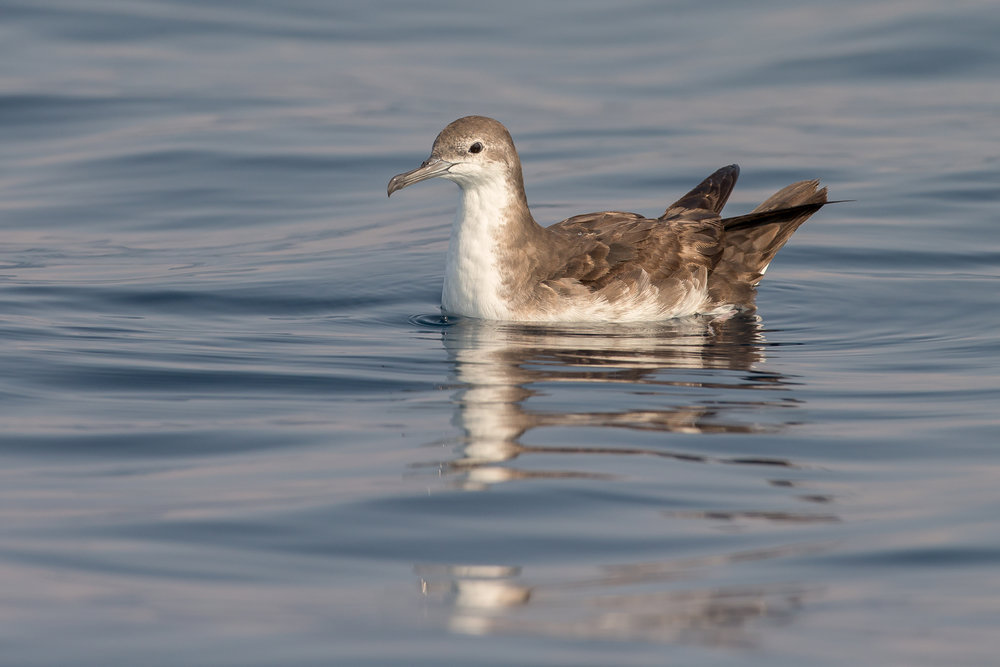 Persian Shearwater, Mirbat Nov 2016