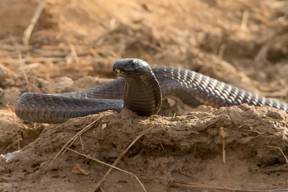 Arabian Cobra, Salalah Nov 2016