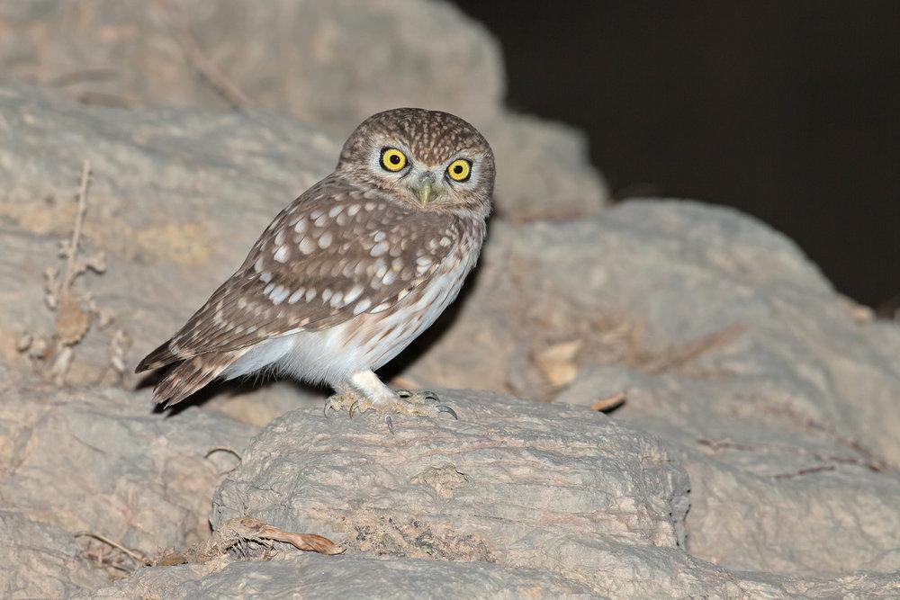 Little Owl, Al Hajar Mountains Nov 2016
