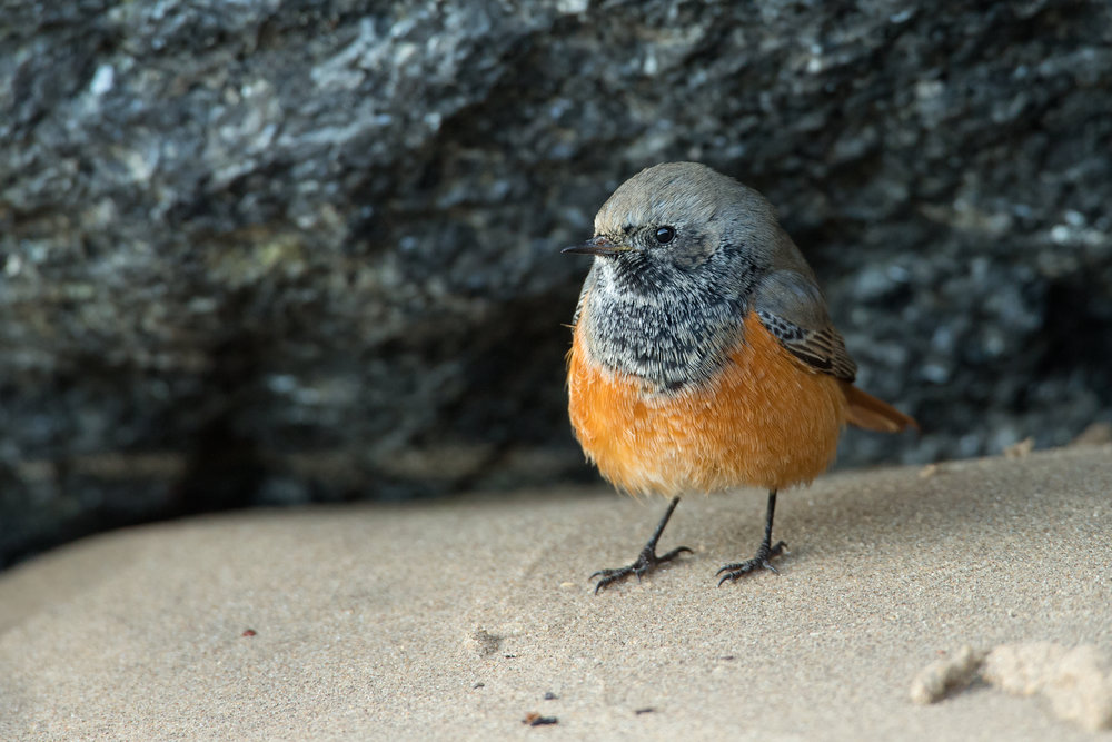 'Eastern' Black Redstart, Skinningrove, Nov 2016