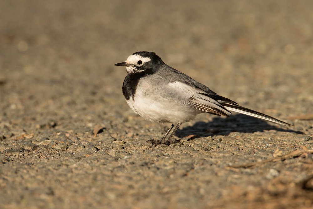 Masked Wagtail, Pembrokeshire December 2016