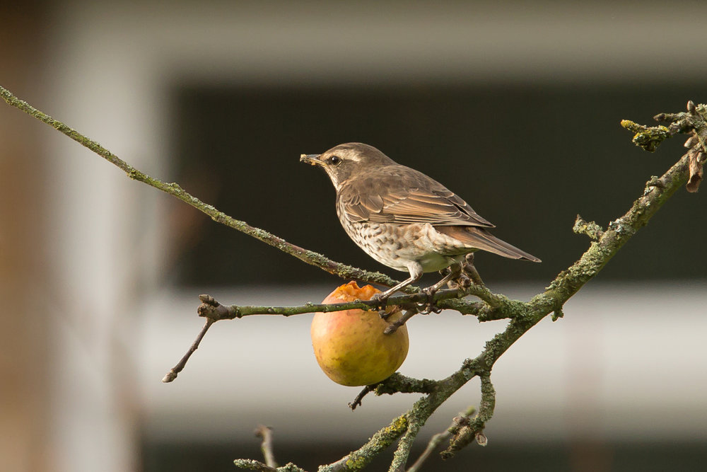Dusky Thrush, Beeley, 10 December 2016