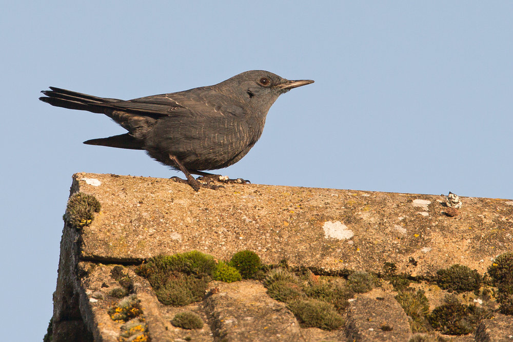 Blue Rock Thrush, Stow-on-the-Wold. Dec 2016