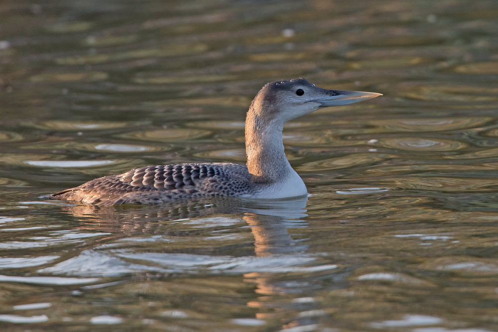 Yellow-billed Loon, Lincolnshire January 2017
