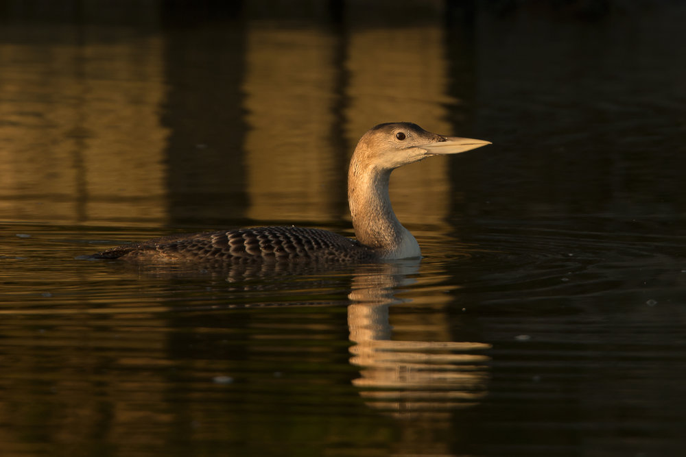 Yellow-billed_Loon.jpg