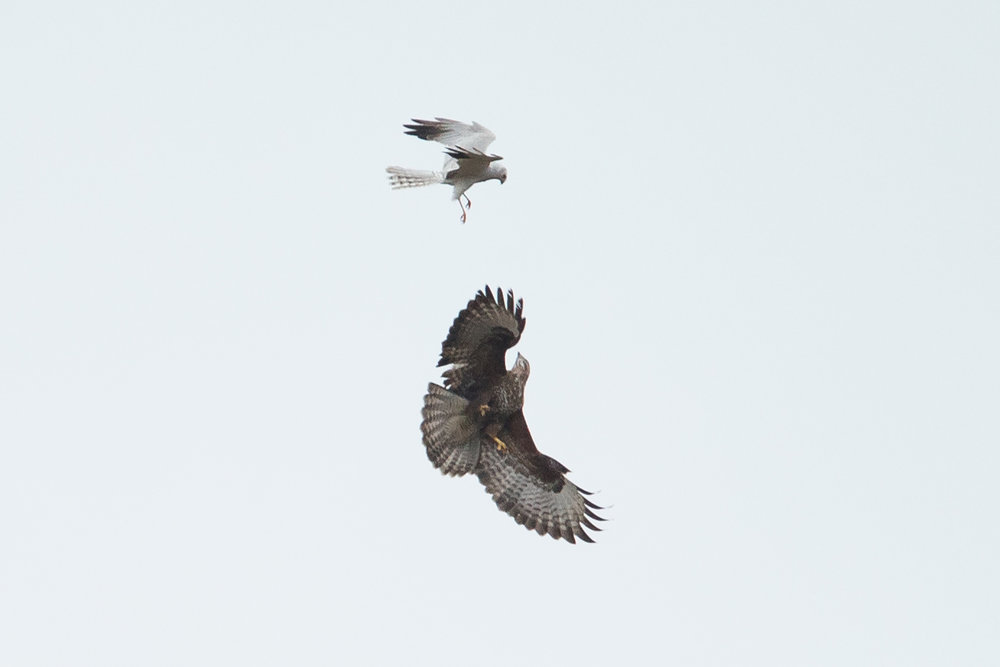 Pallid Harrier versus Common Buzzard. No contest!