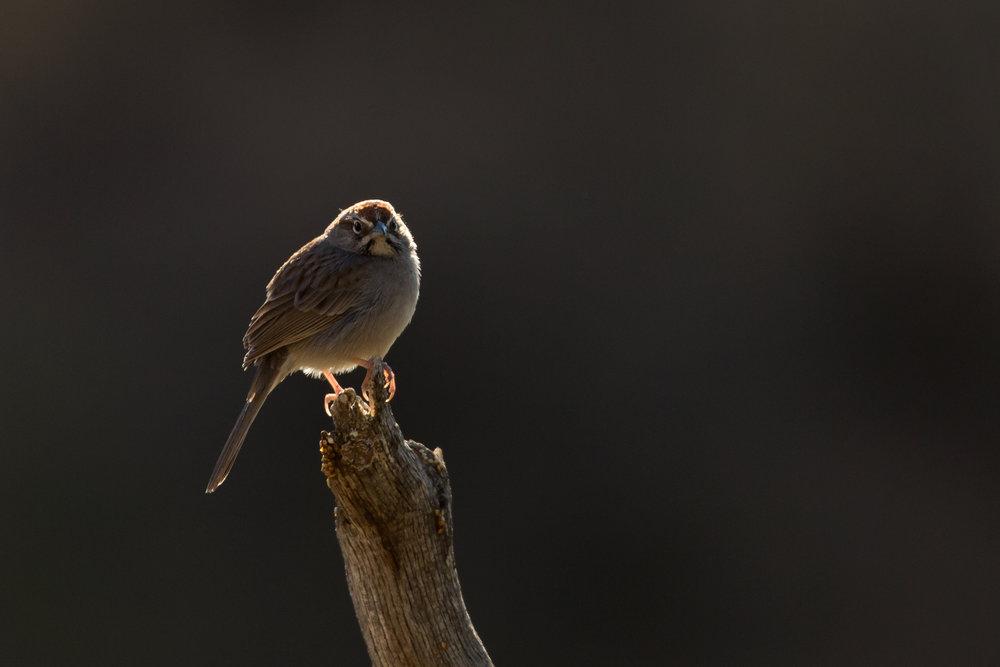 Rufous-crowned Sparrow, Davis Mountains April 2017