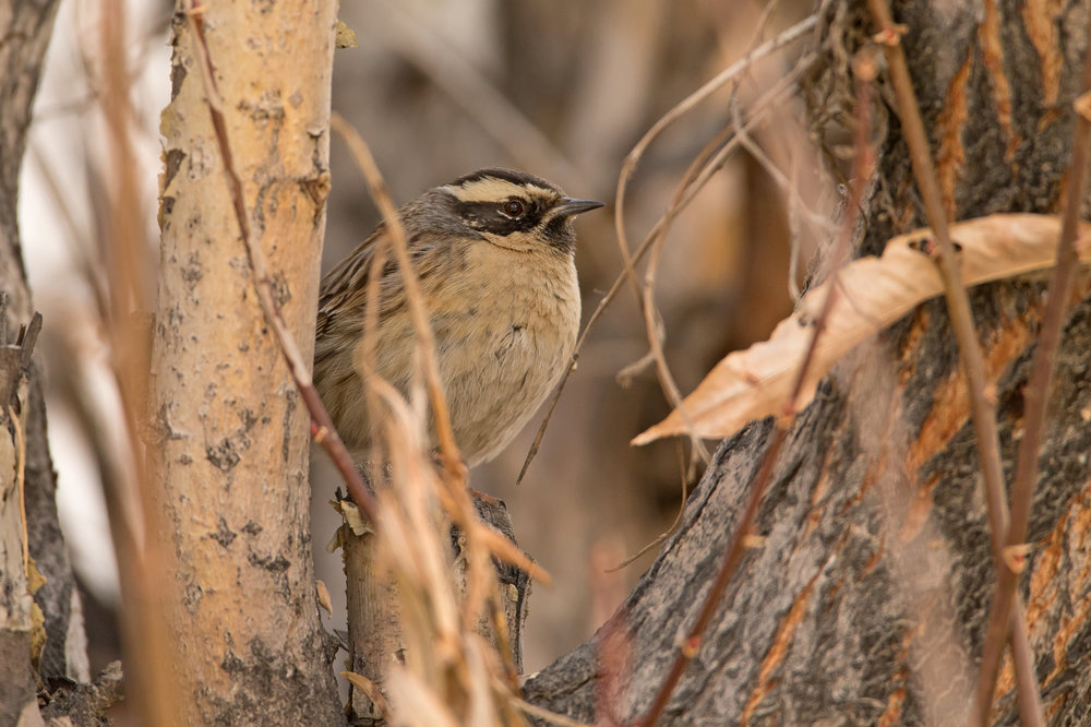 Black-throated Accentor, Leh