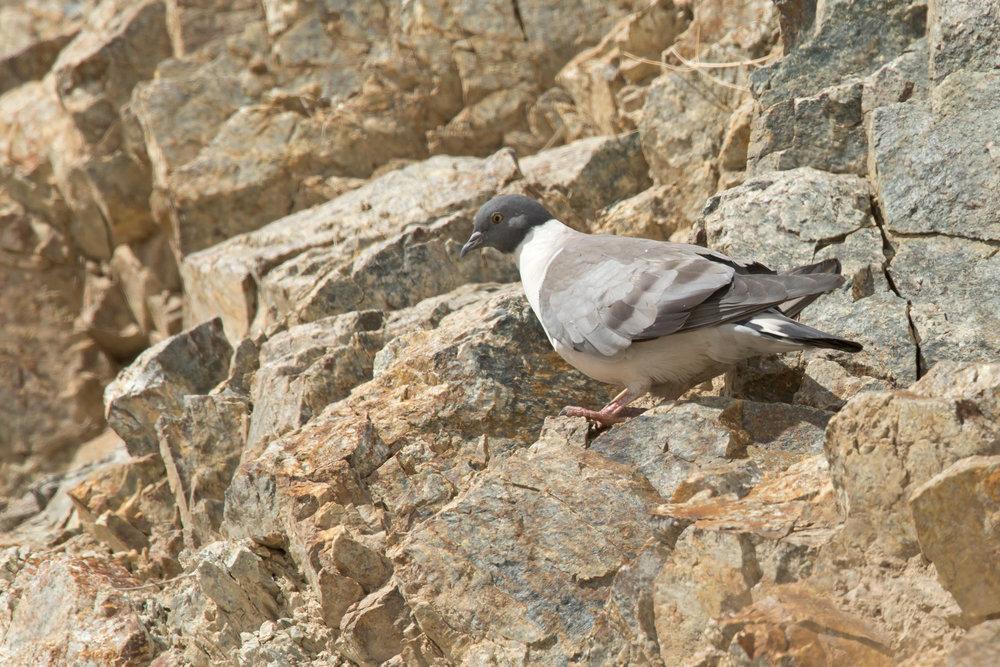 Snow Pigeon, Saspochay March 2017