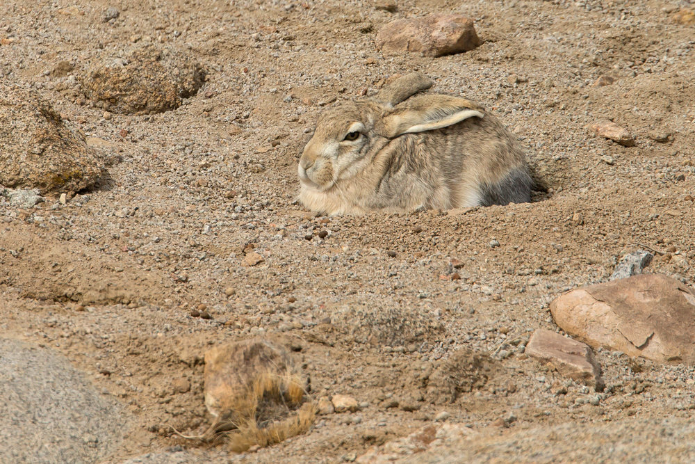 Woolly Hare, near Saspochay March 2017