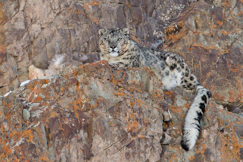 Snow Leopard, Hemis NP March 2017