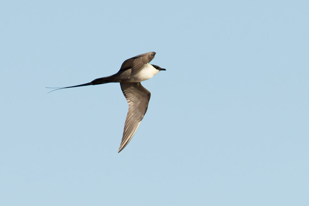 Long-tailed Skua, also 'in the middle of nowhere'