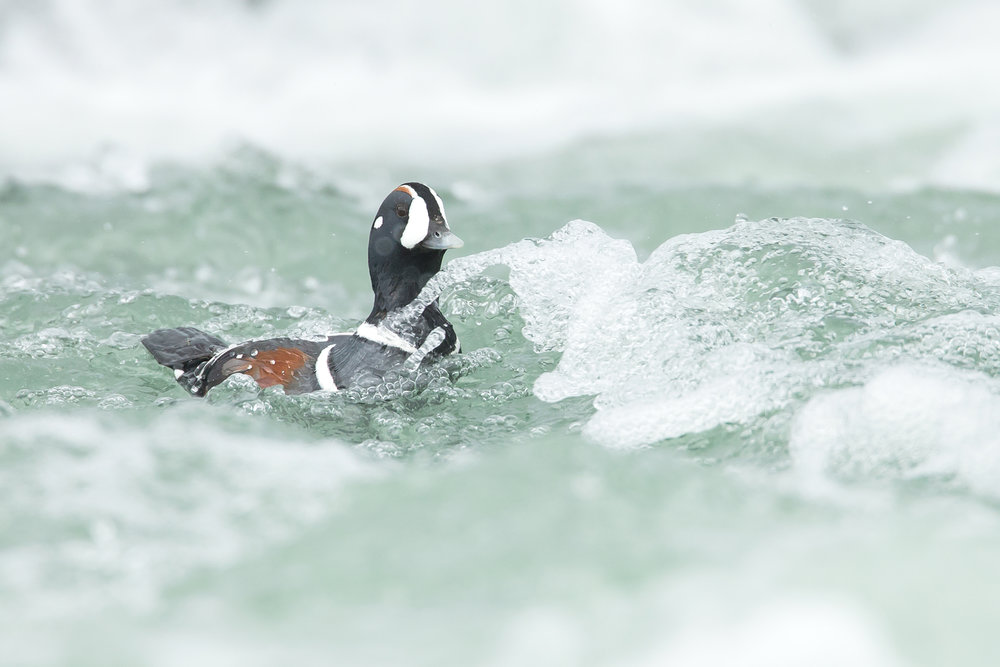 A drake Harlequin Duck shoots the rapids of the Laxá in Northeast Iceland (Mike Watson)