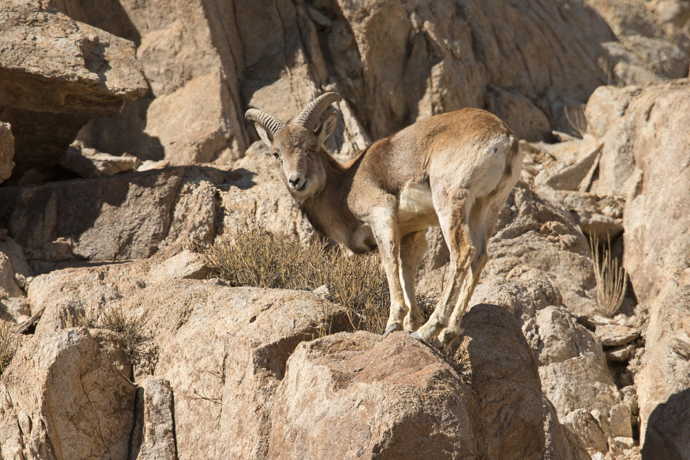 Urial, Shey March 2017