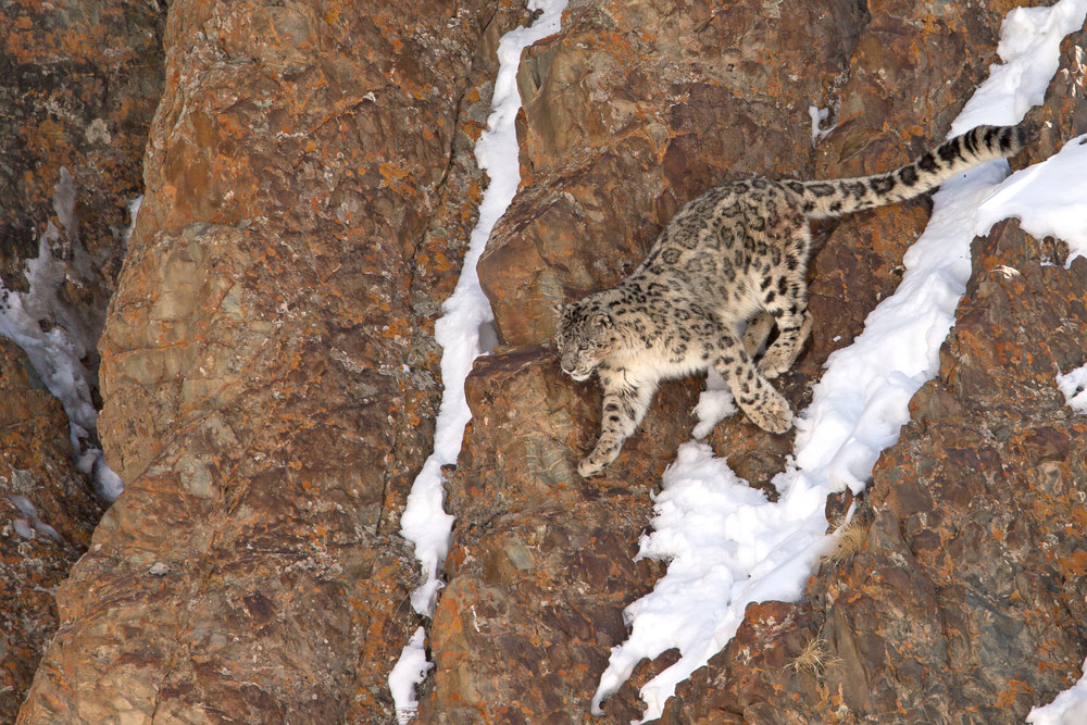 Snow Leopard, Hemis National Park March 2017