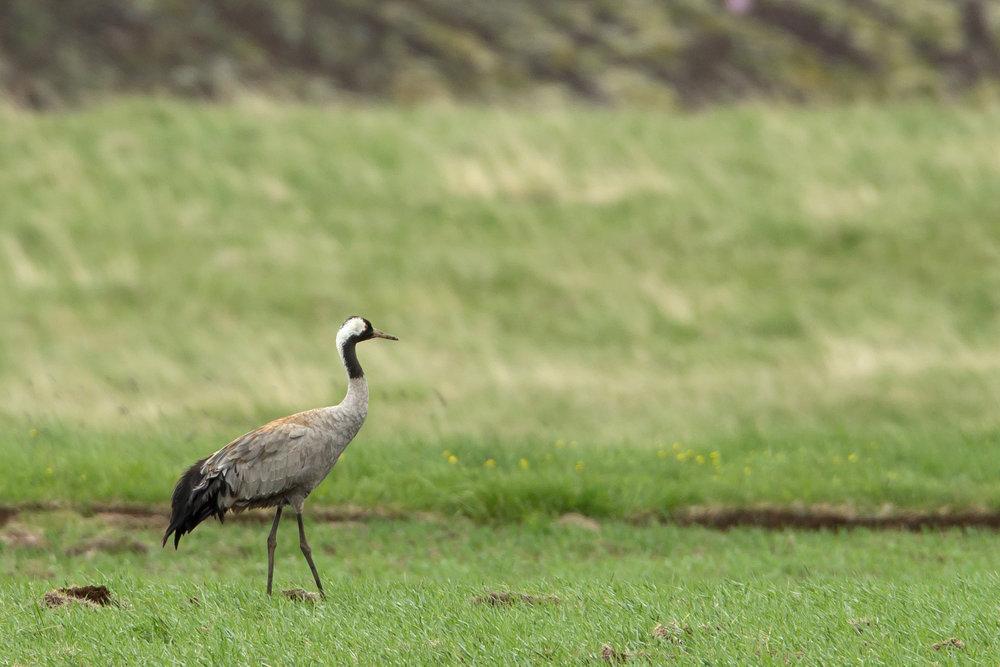 Common Crane, Adadalur June 2017