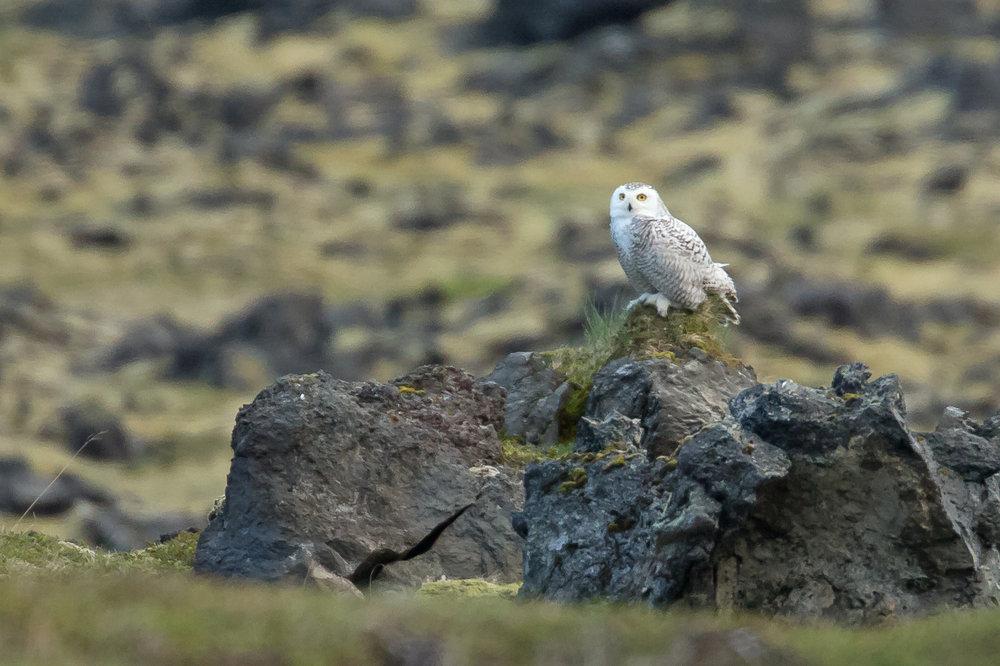 Snowy Owl, Miðjum hvergi June 2017