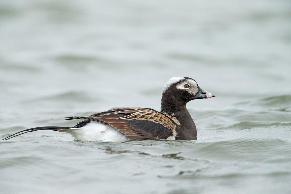 Long-tailed Duck, Lake Myvatn June 2017