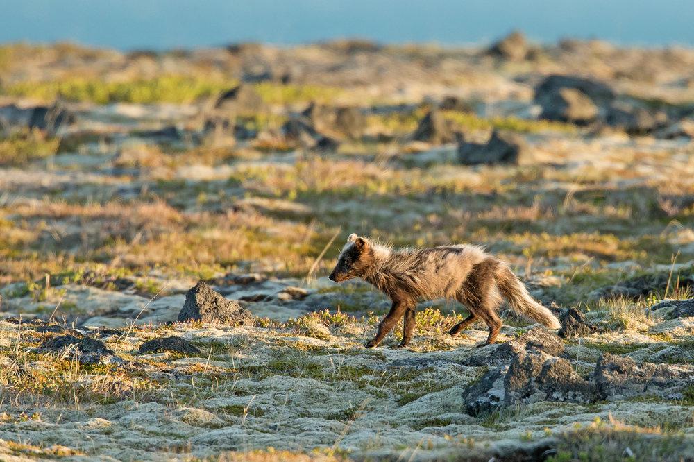 Arctic Fox, Snaefellsjökull NP June 2017