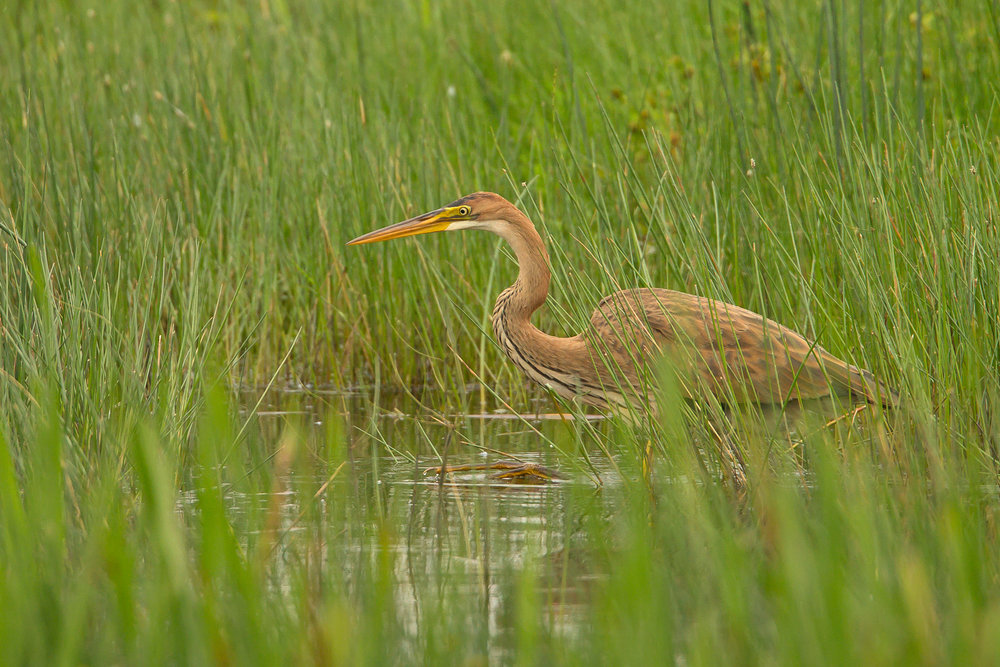 Purple Heron (juvenile), Leighton Moss [CLICK PHOTO FOR LIGHTBOX]