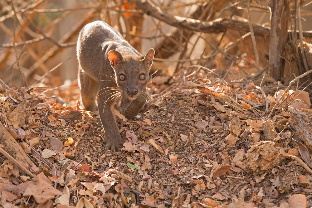 A female Fosa in the deciduous forest of Kirindy in the west of Madagascar.