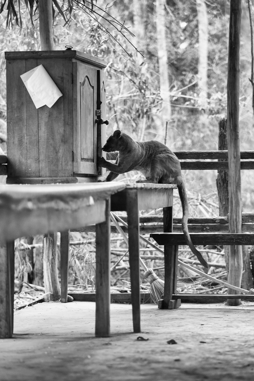 They make themselves completely at home at Kirindy Forest Research Station!