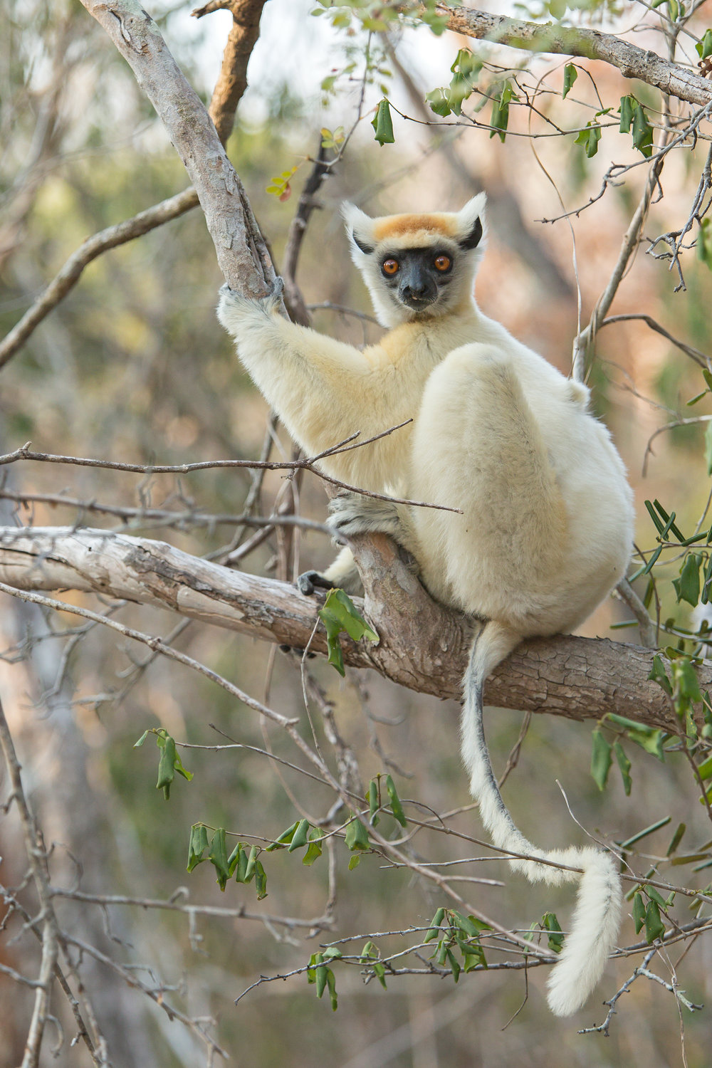 Golden-crowned–Sifaka.jpg