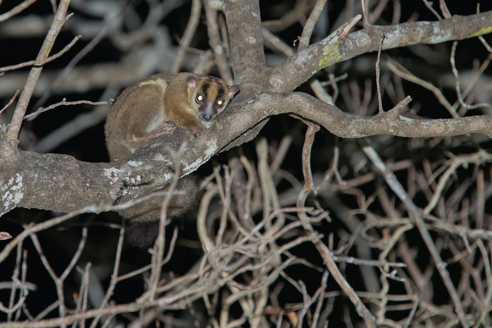 "'Daraina"" Fork-marked Lemur is sure to be another separate species of lemur."
