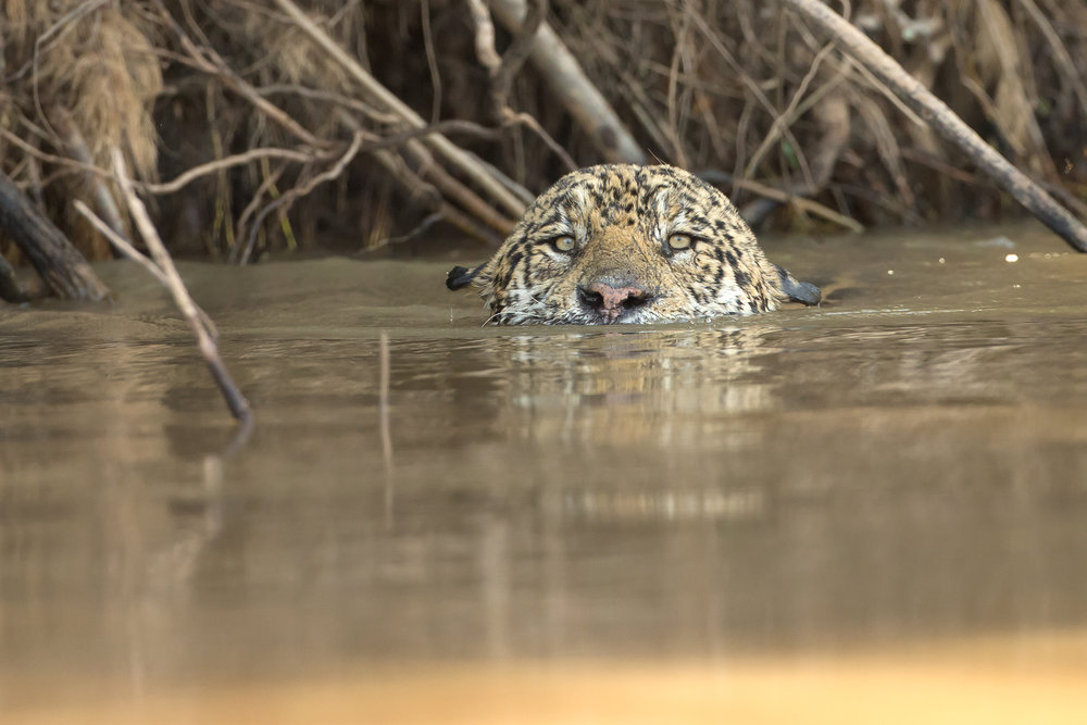 We will spend much of our time in search of the perfect Jaguar encounter.