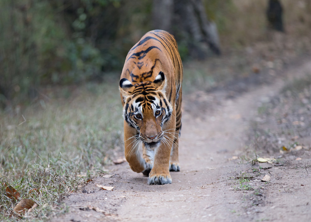 Tiger encounters can often be quite close like this one!