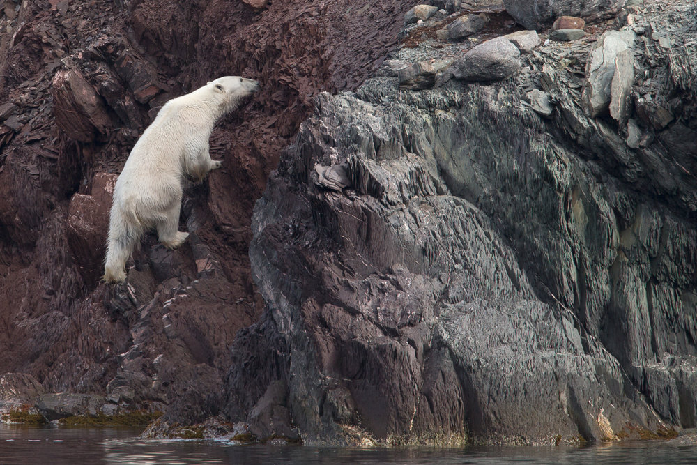 A Polar Bear climbs onto a rocky islet in the Måkøyane in Svalbard.