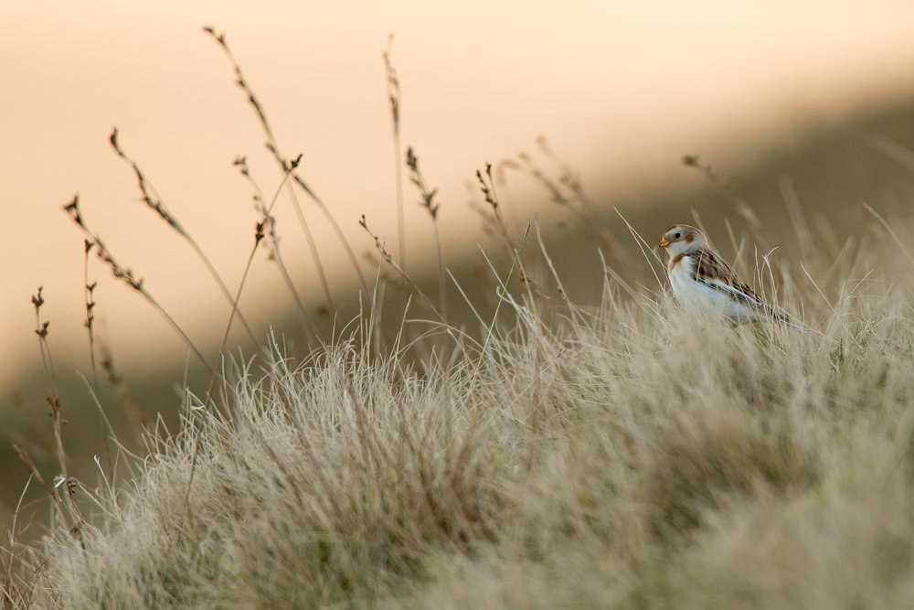 Snow Buntings are back on Pendle Hill, seen here in the shadows of the Downham Slope.