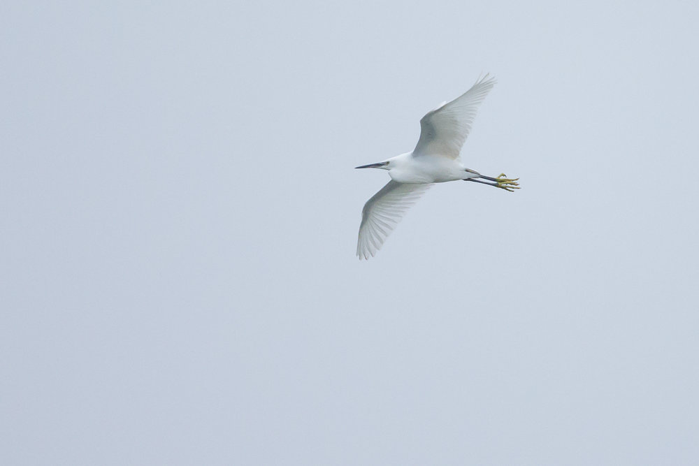 Little Egret at Ribchester. Not much you can do at 8000 ISO!