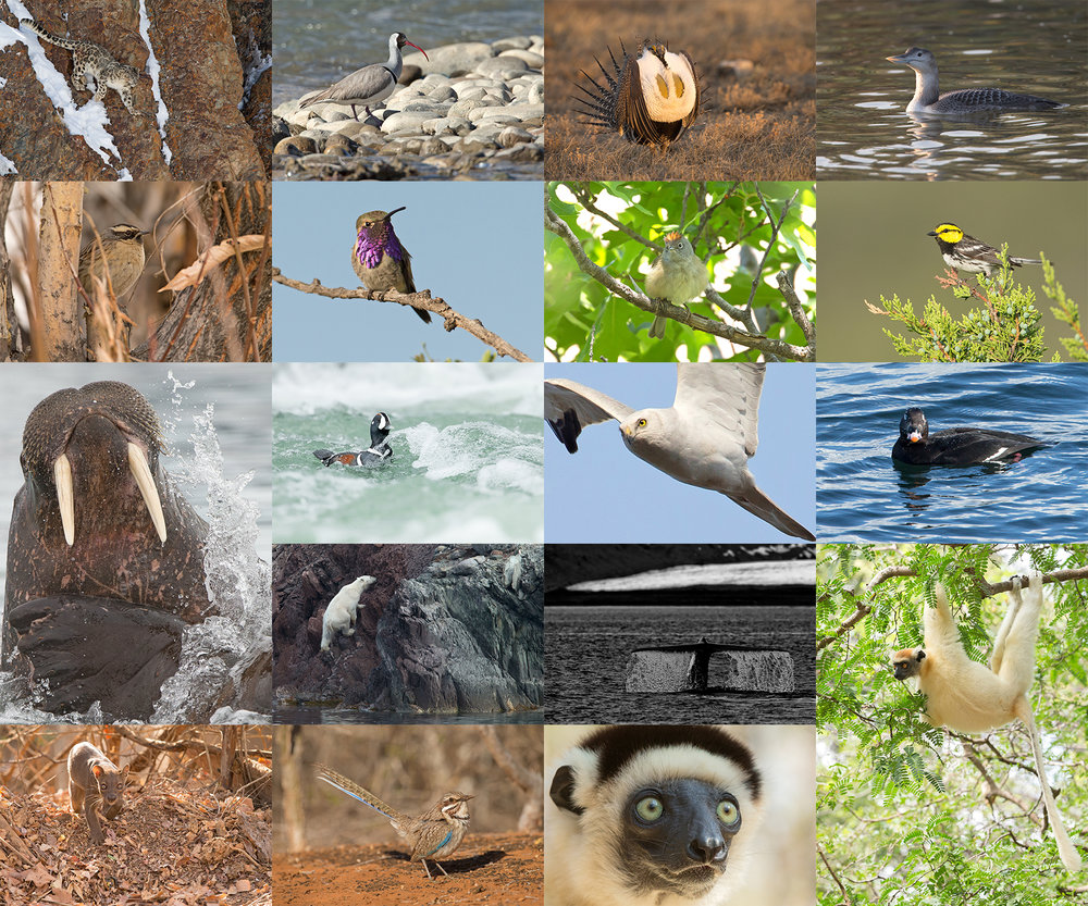 Rows Left-right from top: Snow Leopard, Ibisbill, Sage Grouse, Yellow-billled Loon, Black-throated Accentor, Lucifer Sheartail, Colima Warbler, Golden-cheeked Warbler, Walrus, Harlequin, Pallid Harrier, White-winged Scoter, Polar Bear, Blue Whale, Golden-crowned Sifaka, Fosa, Long-tailed Ground Roller and Verreaux's Sifaka.