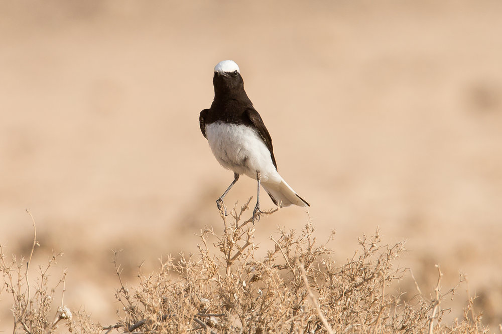 Hooded Wheatear, Ovda, Israel April 2018