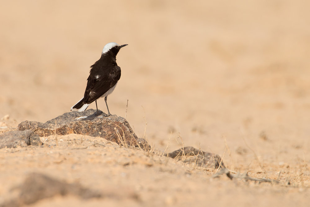 Hooded_Wheatear.jpg