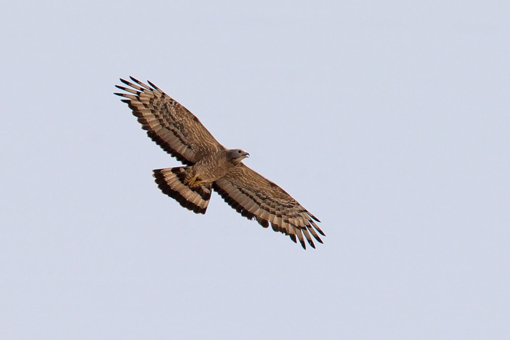 Crested Honey Buzzard, IBRCE, Israel 20 April 2018